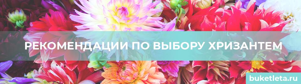 Выбор хризантем